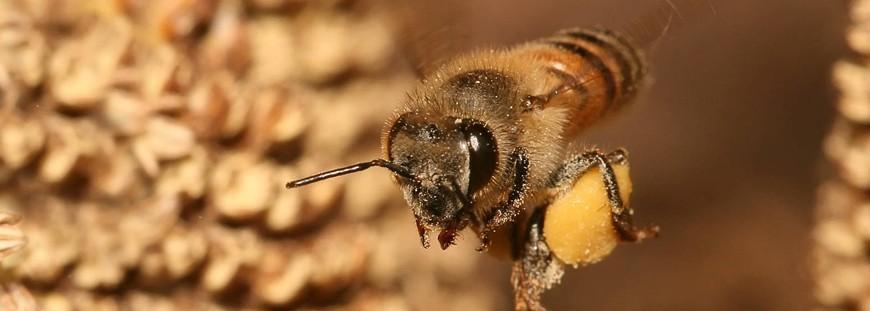 Propoli, le tante proprietà di questo prezioso prodotto delle api